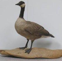 Image of Specimen, Bird - 2000.009.002