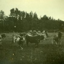 Image of Print, Photographic - Jersey Herd