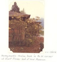 Image of PO.015.0642 - Honey suckle Azalea bush in NW corner of front of flower bed of new Snoqualmie Valley Museum
