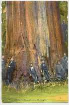 Image of 074.980 - Postcard: Cedar Tree, 100 Feet in Circumference, Washington