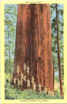 """Image of PO.0074.825 - Postcard, color, """"Boy Scout Tree"""" near Crescent City, CA Redwood tree giant 31 ft. dia. at base. Scene of group of Boy Scouts standing in line along base of tree.  Card has yellow borders on front.  Redwood Highway."""