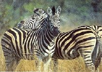 Image of Zebras SC 1880