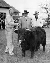 Image of Cattle Judging - Unknown