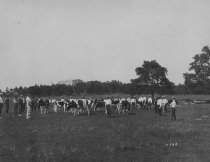 Image of Dairy Herd - Unknown