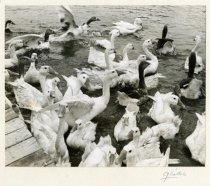Image of Ducks and Geese on a Lake, 1954