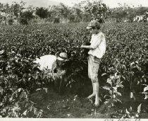 Image of Coffee Tree Plantation Nursery In Costa Rica -
