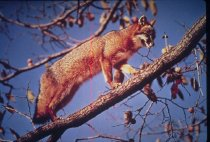 Image of Gray Fox - Unknown
