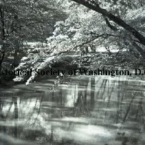 Image of WY 0002.01 - Dogwood over Rock Creek at Sherrill Drive