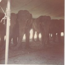 Image of Ringling Brothers and Barnum & Bailey Circus, elephants, 1977