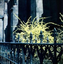 Image of [Forsythia by Church of the Holy Trinity.] - John D. Morrell photographs