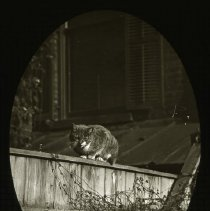 "Image of Cat named ""Lazybones"" - Ralph Irving Lloyd lantern slides"