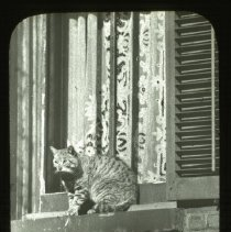 "Image of Cat named ""Alert"" - Ralph Irving Lloyd lantern slides"