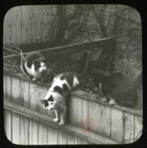 Image of [Cats on a backyard fence] - Ralph Irving Lloyd lantern slides