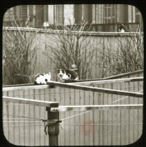 "Image of ""The Spy"" [Cats perched on a fence] - Ralph Irving Lloyd lantern slides"
