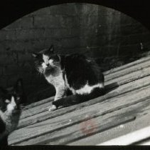 Image of [Cats on a roof] - Ralph Irving Lloyd lantern slides