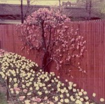 Image of [Brooklyn Photographs: Botanical Gardens--espalier] - Donald L. Nowlan Brooklyn collection