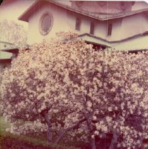 Image of [Brooklyn Photographs: Botanical Gardens--blossoms] - Donald L. Nowlan Brooklyn collection