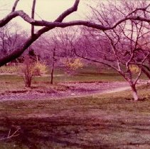 Image of [Brooklyn Photographs: Botanical Gardens--forsythia] - Donald L. Nowlan Brooklyn collection