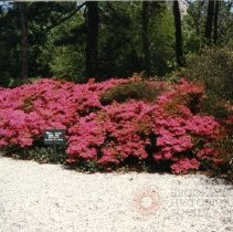 Image of [Azaleas] - Donald L. Nowlan Brooklyn collection