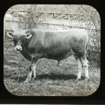 Image of [Jersey Bull, Flatbush] - Adrian Vanderveer Martense collection