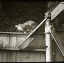 Image of [Tabby cat perched on fence] - Ralph Irving Lloyd lantern slides