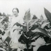 Image of Tobacco Harvesting_4