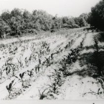 Image of Tobacco Fields_1