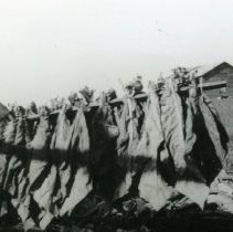Image of Tobacco Harvesting_2