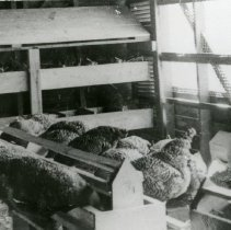 Image of Chickens_1