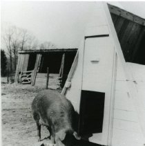 Image of Pigs_3