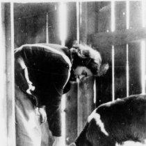 Image of Eva Loew Feeding A Cow