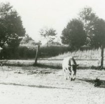 Image of Cow Corralling