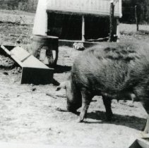 Image of Pigs_4