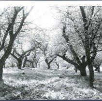 Image of [Orchard Back of Barn] - Mount Lebanon, NY