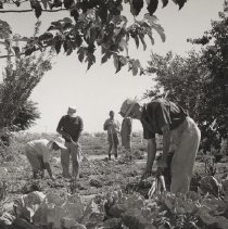 Image of Agricultural Club members - Black and white photograph of five unidentified people harvesting crops at Agricultural Club