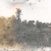 Image of Pine woods - Print, Photographic