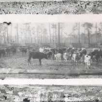 Image of Grazing cattle - Print, Photographic