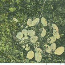 "Image of A postcard titled: "" Alligator eggs hatching in Florida """