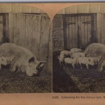 Image of Pigs at Model Farm c.1902