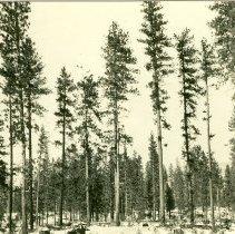 Image of Open Ponderosa Pine Overstory after Regeneration Cut - 2012.014.057