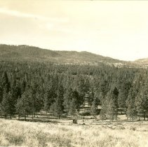 Image of Young Ponderosa Pine Stand Regenerated after Original Cut in 1887 - 2012.014.092