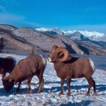 Image of Rocky Mountain Bighorn Sheep - 2006.017.025