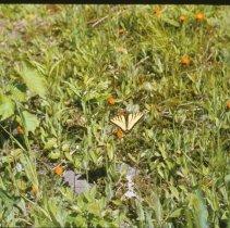 Image of Butterflies             - 2009.011.009g
