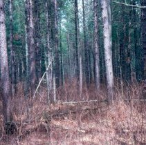 Image of Townline Red Pine Thinning adjacent to Forest Road 229 - 2007.009.157