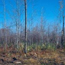 Image of Aspen Regeneration Under Hardwood Saplings After Timber Sale Compartment 87 - 2007.009.177