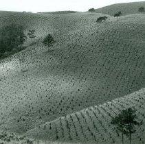 Image of Two Year Old Pine Plantation near Dalat Vietnam  1967 - 2004.078.090