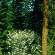 Image of Pacific Dogwood - Glacier Spring
