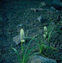Image of Death Camas - Alvard Desert - 2007.007.060i
