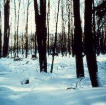 Image of Winter Deer Yard - 2005.140.219