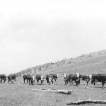 Image of Cattle on pass between Baker Branch and Cuchara Creek. - 1990.001.052.177